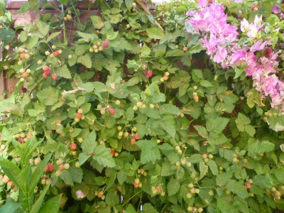 blackberry plant with bougainvillea plant