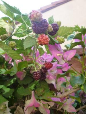 blackberries in various stages of ripening