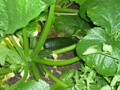 Fat zucchini