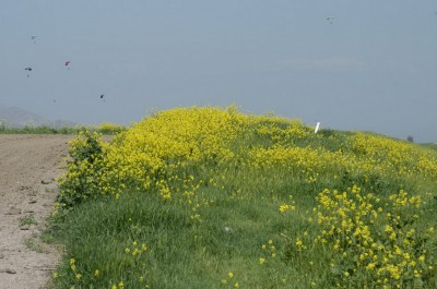 Mustard field with sky divers in the background